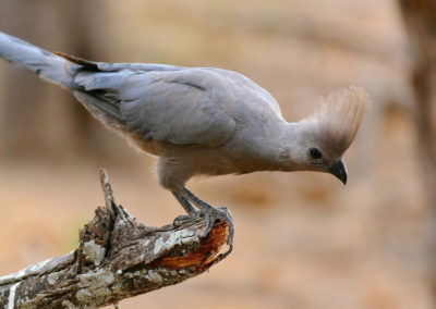 Grey_Go-away-bird_(Corythaixoides_concolor)_(32339139354),_crop2000